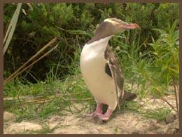 nieuw zeeland penguin